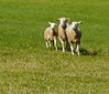 The sheep approach the first turn around the handler in a nice tight pack.