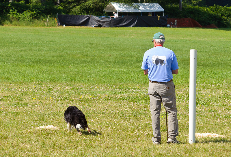 With the trio of sheep in place at the far end of the field, the handler releases his dog.