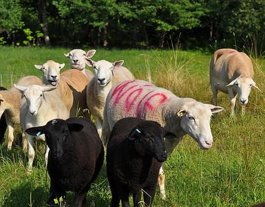Sheep Dog Trials 2010