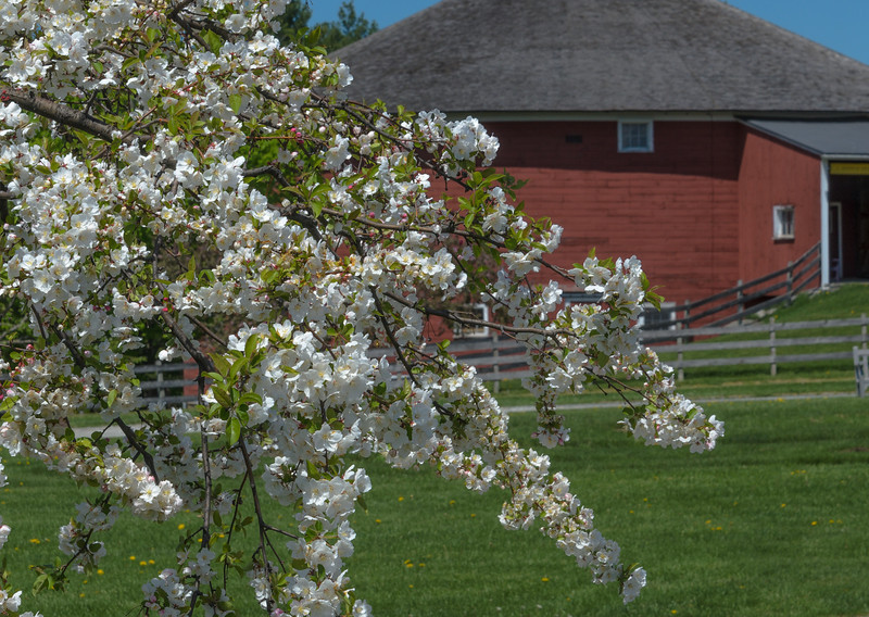 Apple blossoms at  the Round Barn