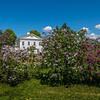 Lilacs at the Webb Mansion