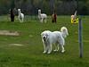 Guard dog at alpaca farm