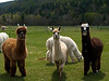 Alpaca farm, Vermont