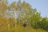 A beautiful stand of birches forms a backdrop for the chimney.