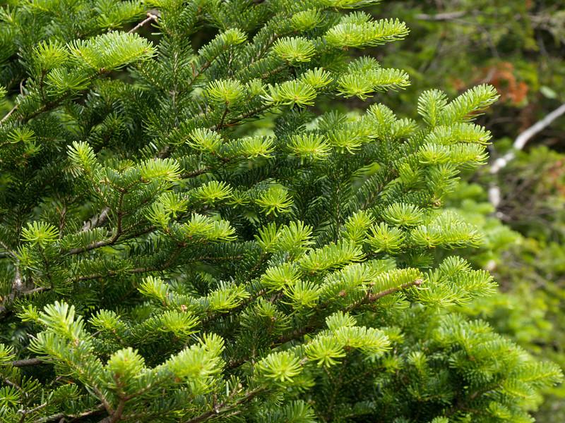 New growth, balsam fir