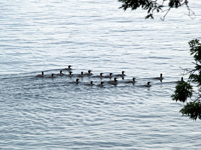 Large family of mergansers, Lake Champlain