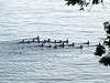 Large family of mergansers, Lake Champlain