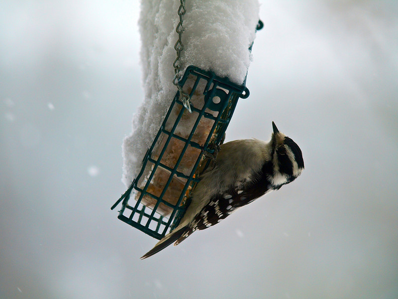 Downy woodpecker on suet in snowstorm