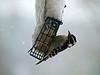 Downy woodpecker on suet in snowstorm