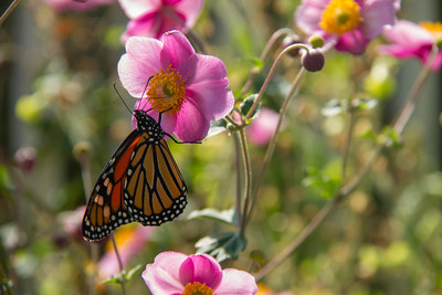 Monarch Butterfly on Pink Flowers
