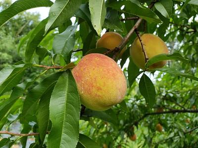 20190818_101132_peach harvest