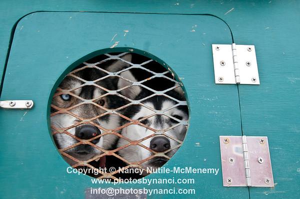 Braeburn Siberians Dog Sledding Adventures Great River Outfitters Windsor VT January 6, 2013 Copyright ©2013 Nancy Nutile-McMenemy www.photosbynanci.com For The Vermont Standard: http://www.thevermontstandard.com/ Image Galleries: http://thevermontstandard.smugmug.com/
