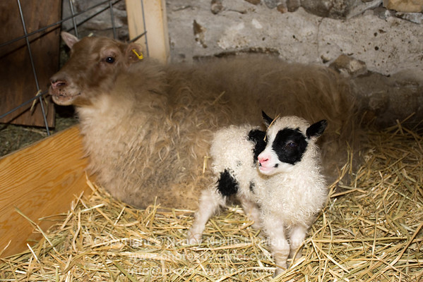 Vala, The Baby Icelandic Lamb