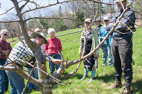 Apple Tree Grafting