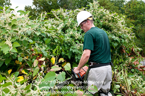 Knotweed Removal at the Jungle