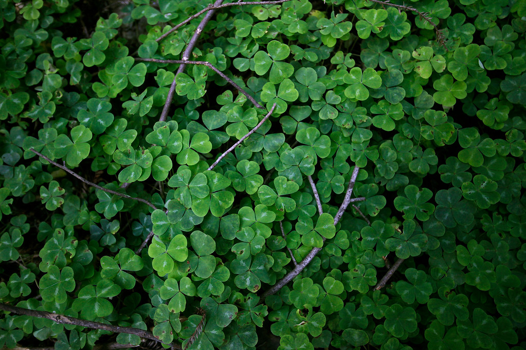 . A patch of Redwood Sorrel in Pfeiffer Big Sur State Park on Thursday, March 30, 2017.  (Vern Fisher - Monterey Herald)