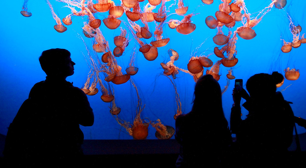 . People view the jelly fish exhibit as Patrick Webster, the Monterey Bay Aquarium\'s social media producer, was live on Wednesday, Jan. 4, 2017 on camera with a special 360-degree attachment on his smartphone that creates the 360-degree experience for viewers on Periscope.  (Vern Fisher - Monterey Herald)