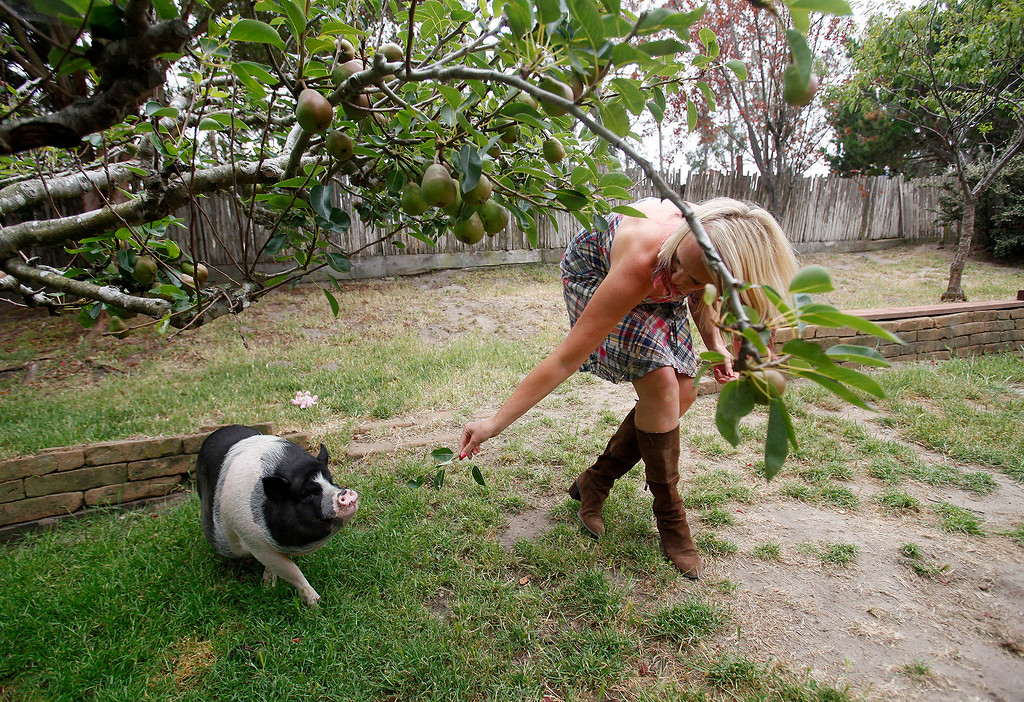 ". Lisa Hanes with her pet pot-bellied pig ""Bruiser\"" at her Pacific Grove home on Wednesday, June 22, 2016.  (Vern Fisher - Monterey Herald)"