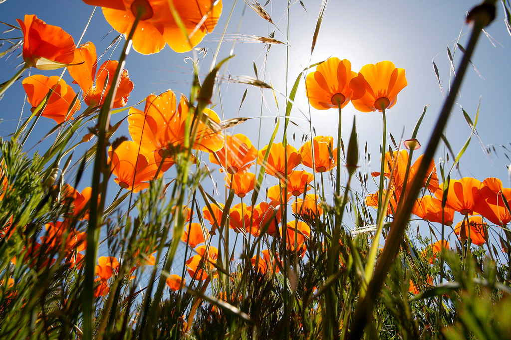 . California Poppy wildflowers bloom in the sunshine in Toro Park on Friday, March 25, 2016.  (Vern Fisher - Monterey Herald)