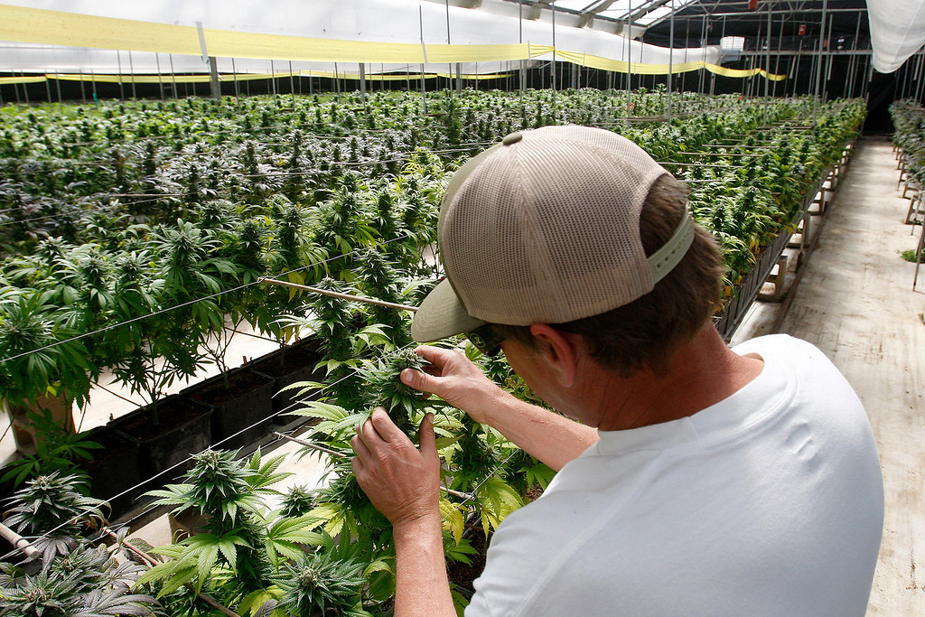 . John, CEO of the Gold Coast Coast Garden company looks over his marijuana as it grows in a greenhouse in Monterey County on Tuesday, April 5, 2016.  The greenhouse was previously used to grow cut flowers.  The Gold Coast Garden company in Monterey County is growing marijuana to be sold and used in medical marijuana dispensaries on the central coast.   (Vern Fisher - Monterey Herald)