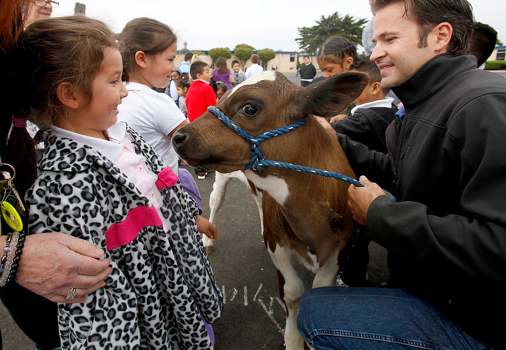 . Marina Vista School kindergartner Elaina Rodriguez, 5, gets up close to a young calf on Friday, Sept. 2, 2016.  Brandon Roberts with the Dairy Council of California brought his Mobile Dairy Classroom to Marina to instruct kids on healthy eating habits.  (Vern Fisher - Monterey Herald)