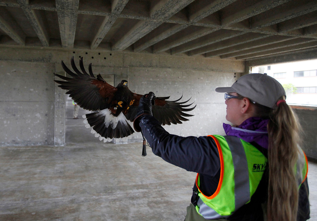 . Ashley McFarland with her Harris\'s hawk on scene of building demolition at CSU Monterey Bay on Thursday, April 28, 2016.  The birds of prey are used to scare away nesting birds from buildings slated for demolition so as not to delay work.   (Vern Fisher - Monterey Herald)