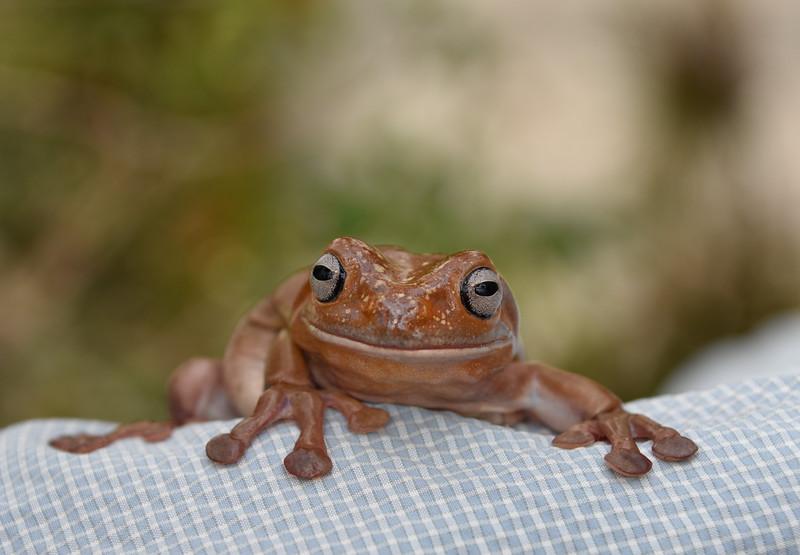 Australian Green Treefrog (Litoria caerulea)
