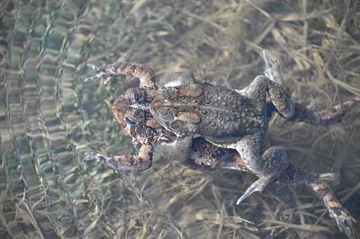 American Toad (Anaxyrus americanus) Amplexus