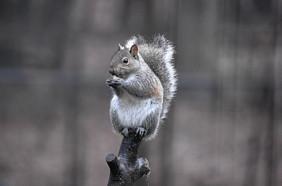 Easter Grey Squirrel - Sciurus carolinensis