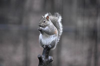 Easter Grey Squirrel - Sciurus carolinensis