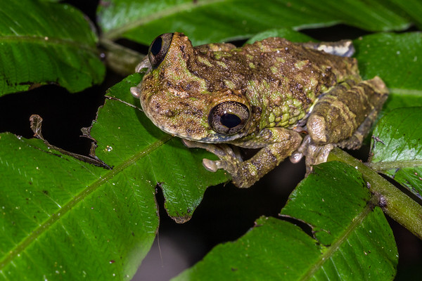 map tree frog, Hypsiboas geographicus (Hylidae). Gareno Amazon, Napo, Ecuador