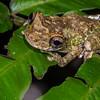 map tree frog, <i>Hypsiboas geographicus</i> (Hylidae). Gareno Amazon, Napo, Ecuador