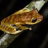 <i>Hypsiboas calcaratus</i> complex (Hylidae). Colibri to Bates loop, Shiripuno, Orellana Ecuador