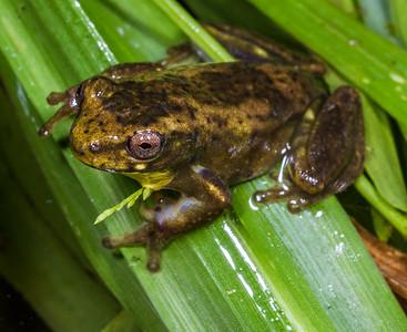 frog. Mindo, Pichincha Ecuador