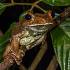 gladiator frog, <i>Hypsiboas boans</i> (Hylidae). Gareno Amazon, Napo, Ecuador