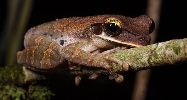 Osteocephalus taurinus sp. (Hylidae). Bates trail. Shiripuno, Orellana Ecuador