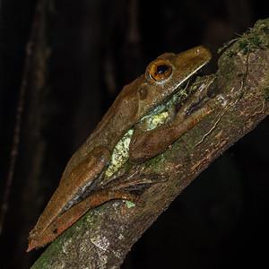 gladiator frog, Hypsiboas boans (Hylidae). Gareno Amazon, Napo, Ecuador