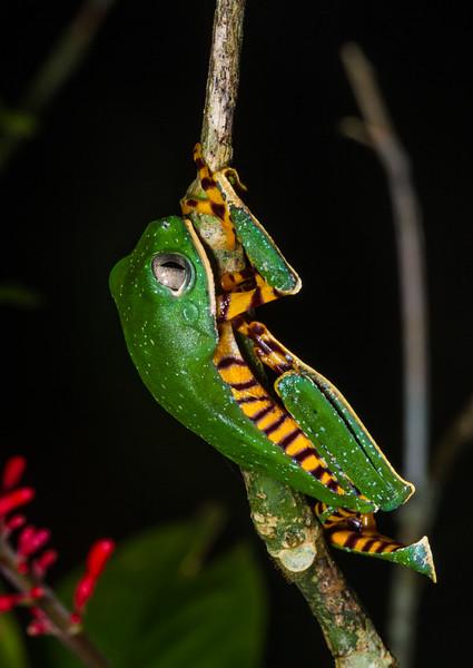 monkey frog, <i>Phylomedusa tomopterna</i> (Hylidae). Gareno Amazon, Napo, Ecuador