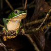 white-lined monkey frog, <i>Phyllomedusa vaillanti</i> (Hylidae). across river from lodge, Shiripuno, Orellana Ecuador