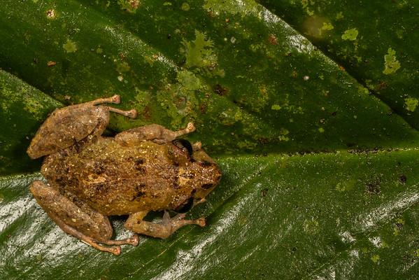 Pristimantis sp. (Craugastoridae). Bates trail, Shiripuno, Orellana Ecuador