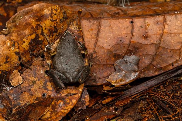 Chiasmocleis bassleri (Microhylidae). EO Wilson trail, Shiripuno, Orellana Ecuador