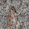 canyon treefrog, <i>Hyla arenicolor</i> (Hylidae). Florida Canyon, Arizona USA