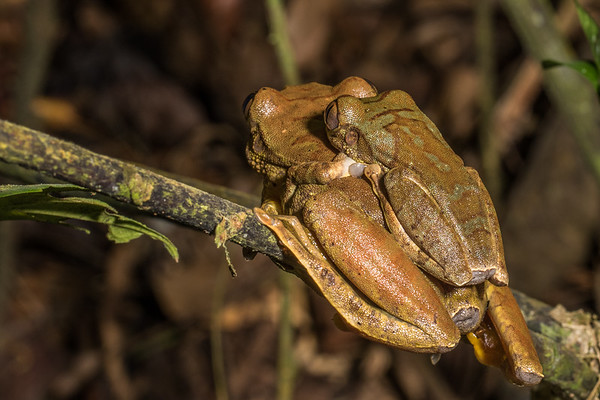 mating red tree frogs, Leptopelis rufus (Arthroleptidae). on branches overhanging stream, Nyasoso, Southwest Region, Cameroon Africa