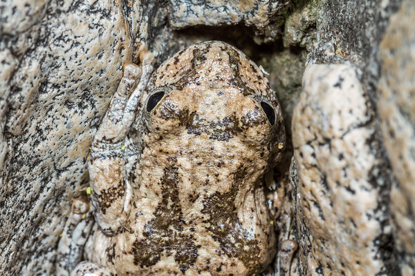 canyon treefrog, Hyla arenicolor (Hylidae). Florida Canyon, Arizona USA