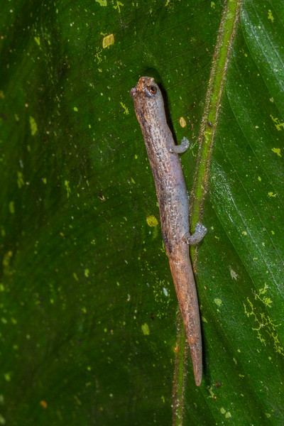 mushroom tongue salamander, Bolitoglossa cf. peruviana (Plethodontidae). Gareno Amazon, Napo Ecuador