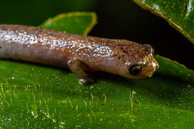 mushroom tongue salamander, Bolitoglossa cf. peruviana (Plethodontidae).  Colibri trail, Shiripuno, Orellana Ecuador