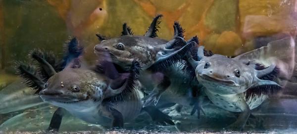 tiger salamander larvae,  Ambystoma tigrinuim mavortium