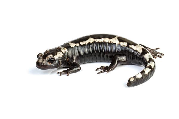marbled salamander, Ambystoma opacum (Ambystomatidae). Captive. USA