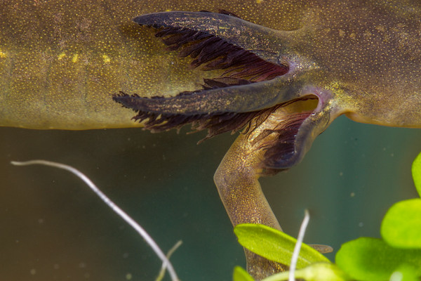 tiger salamander larva gills, Ambystoma marvortium ssp. (Ambystomatidae). Captive sold as bait. Arizona USA