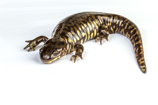 barred tiger salamander, Ambystoma marvortium ssp. (Ambystomatidae). Captive sold as bait. Arizona USA